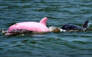 pink_dolphin_1358282c.jpg
