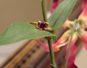 malaya.garnet.omie.flower.02.12.09.JPG