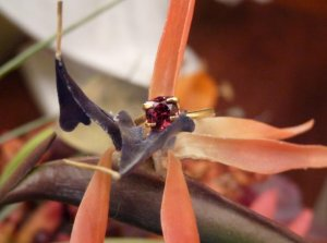 malaya.garnet.omie.flower.b.02.12.09.JPG