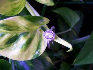 ring on plant HH.jpg