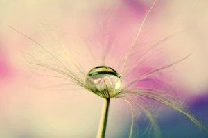dandeliondrop.jpg