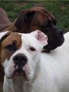 American bulldog vs boxer