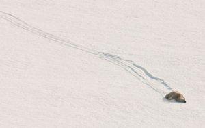 polar_bear_sliding_down_hill.jpg
