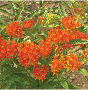 butterfly weed.png