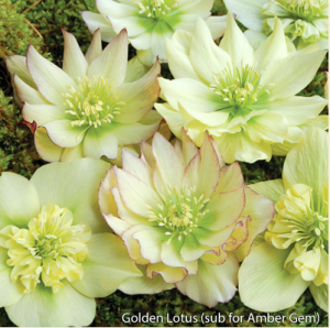 white hellebore.png