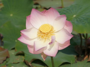 pink_lotus_blossom-dsc01488-a1-wp.jpg