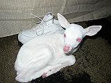 albinodeer.JPG