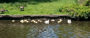 ducklingsandparentsenjoyingfletcherlake.jpg