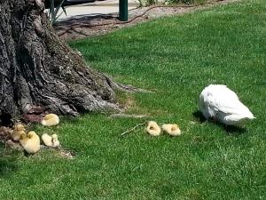 ducklingsenjoyingmemorialsaturday_0.jpg