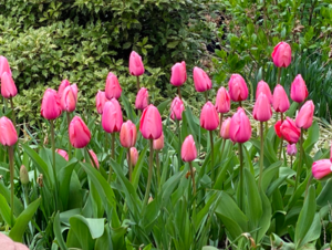 pinktulips.jpeg.png