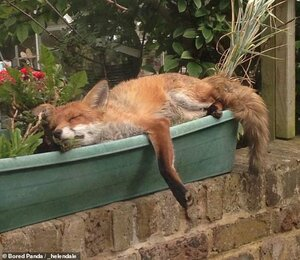 28833944-8357547-Helen_Dale_from_Australia_shared_a_beautiful_fox_taking_a_nap_in-a-92_1590762...jpg