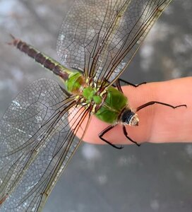 dragonflyonfinger.jpg
