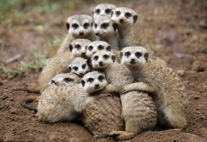 meerkats-group-hug.jpg