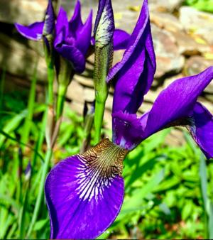 purpleingarden.png