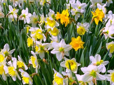 daffodils2021.png