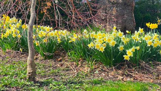 daffodilsfrontyardapril2021.png