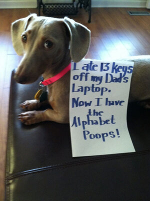 dogs-who-are-shamelessly-proud-of-what-they-just-did-18.jpg