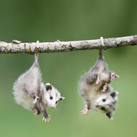 Ibrakeforpossums