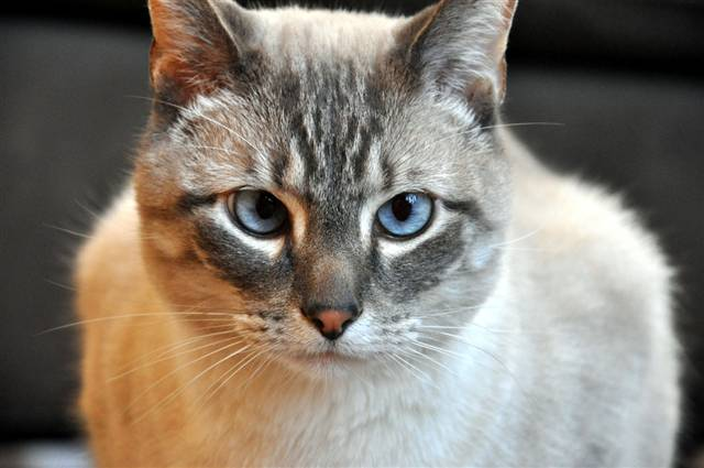 Takumi Ltp S Lynx Point Siamese Mix Pricescope