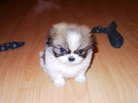 mean little dog