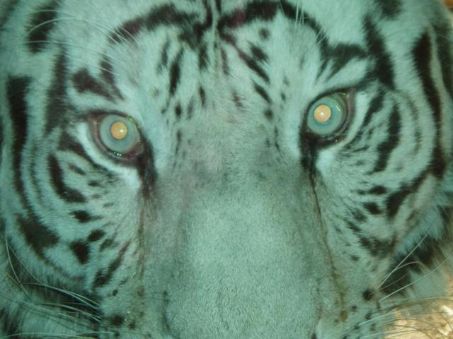 Tiger at the Birmingham Zoo
